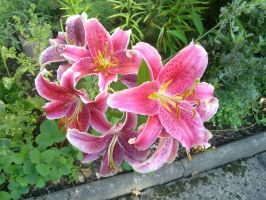 Lilies by jaw