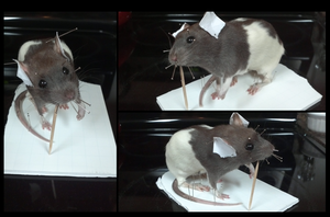 Taxidermy Rat Numero Tres by xDoglate