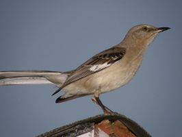 Mockingbird 1 by redtailhawker