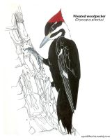 Pileated Woodpecker by squidlifecrisis