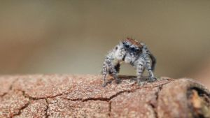 Jumping Spider Eating by PulpDesigns