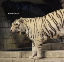 White Bengal Tiger #7 by ButterflyBlaze