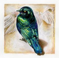 Glossy Starling by Heliocyan