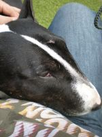 Bo The Bullterrier 6 by Crizzes