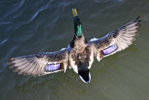 Mallard taking flight by salt25