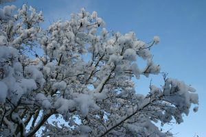 Winter - japanese maple + snow by ArtistStock