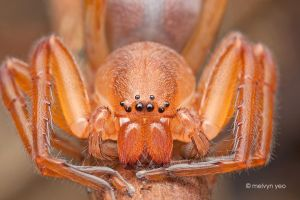 Sac Spider by melvynyeo