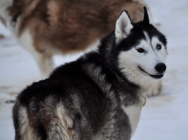 Sled Dogs / Huskies 12 by windfuchs