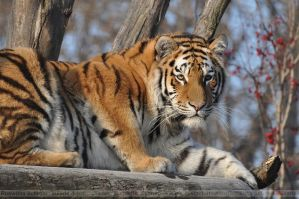 Siberian Tiger (014) - Siberian Beauty by Sikaris