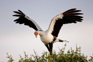 Secretarybird by catman-suha