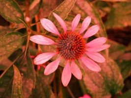 Pink flower for Breast Cancer Awareness Month 2 by ArtieWallace