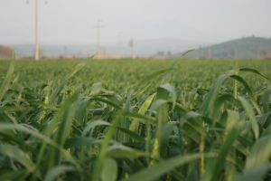 The Green Of Grain by alazada9855
