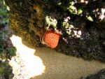Strawberry Sea Anemone! by as15245467