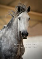 Epa Lusitano Stallion by A-Motive
