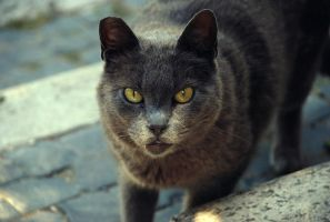 Grey cat by Doroty86