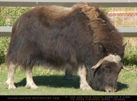 MuskOx Cow 2 by SalsolaStock