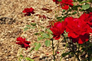Red Roses by SarahDank