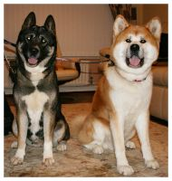 American and Japanese Akita by thisisyesterday
