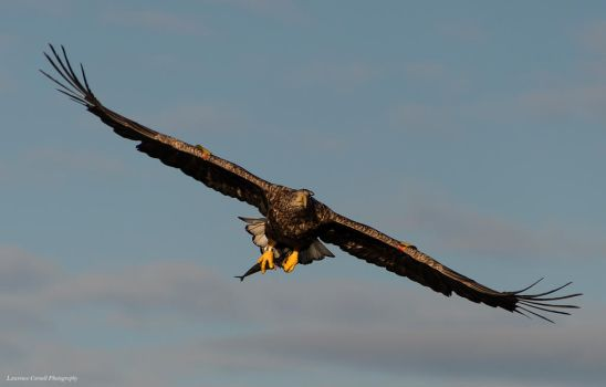 I'm an eagle that rides on the breeze by LordLJCornellPhotos
