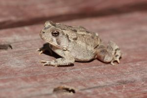 Mister Toad by arkansawyer