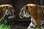 Stock - Tigers Playing 02 by DeviantRoze