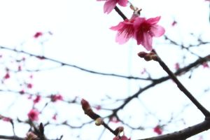cherry blossoms by WillTraven