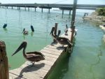 Pelicans of Key Largo by angeloftheages