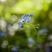 Forget Me Not by jaelise