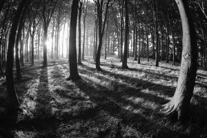 Beech Wood Dawn 13 by Grunvald