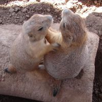 Two Affectionate Prairie Dogs by FantasyStock
