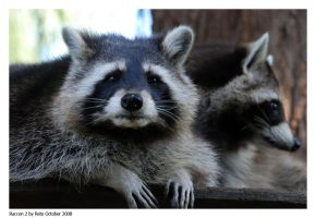 Racoon 2 by Reto