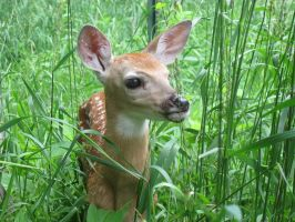 Fawn in the Meadow 3 by Windthin