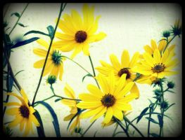sunflower dreams by x--photographygirl