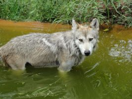 OKCZ July 9: Mexican wolf 15 by FamilyCanidae