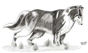 Collie by DebyBee
