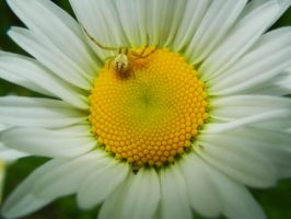 Daisy spider by Ranae490