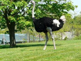 Ostrich 05 by Unseelie-Stock