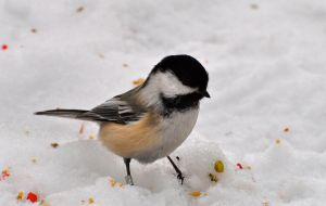 chickadee in snow by contemporaryhart