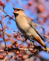 Bohemian Waxwing - Big Gulp by JestePhotography