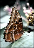 butterfly3 by RichardRobert