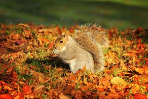 Autumn Squirrel by ChrisDonohoe