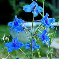 Larkspur 3 by MadGardens