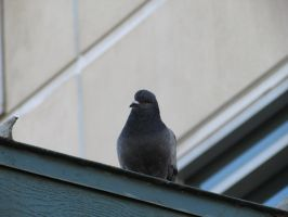Cleaner pigeon by Xario1