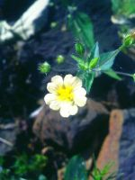 Indian Winter Tiny Flower 4 by SRUJAL
