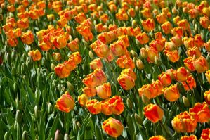 Tulips of Istanbul - 1 by SoundOfSilence87