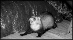 Killer Ferret by Allhailtotheferrets
