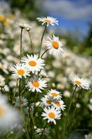 Sunny Asters by George---Kirk