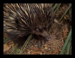 Echidna by lens4eyes