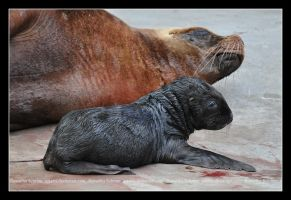 Sea Lion (001) - newborn by Sikaris