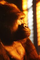 Primate Reflecting by S-H-Photography